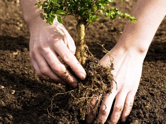 Tree Planting-Miramar FL Tree Trimming and Stump Grinding Services-We Offer Tree Trimming Services, Tree Removal, Tree Pruning, Tree Cutting, Residential and Commercial Tree Trimming Services, Storm Damage, Emergency Tree Removal, Land Clearing, Tree Companies, Tree Care Service, Stump Grinding, and we're the Best Tree Trimming Company Near You Guaranteed!